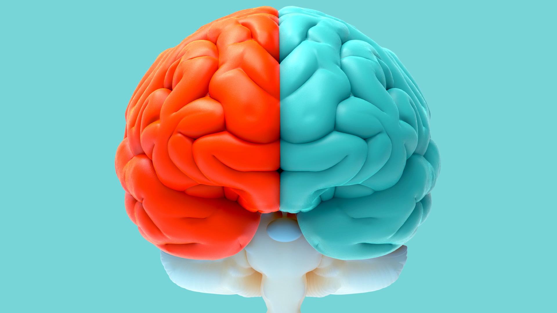 левый и правый мозг